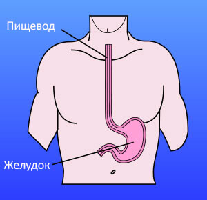 location of the esophagus